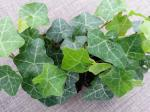 Hedera Ivy Modern Times