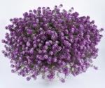 Lobularia Deep Lavender Stream