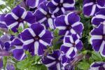 Petunia Cascadia Purple Gem