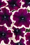 Petunia Crazytunia French Kiss