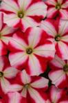 Petunia Perfectunia Cherry Pop