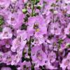 Angelonia Angelos Lavender Pink