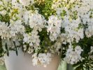 Angelonia Angelos Trailing White