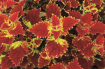 Coleus Color Clouds Be Mine