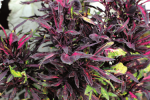 Coleus Fancy Feathers Black