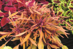 Coleus Fancy Feathers Copper