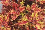 Coleus Terra Nova Red Ripple