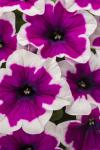 Petunia Crazytunia Purple Picotee