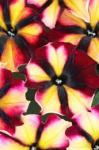 Petunia Crazytunia Sugar Beet