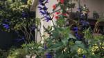 Salvia Bodacious Rhythm & Blues