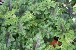 Scented Quercifolia