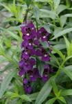 Angelonia Angelwings Dark Blue