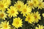 Argyranthemum Butterfly Yellow