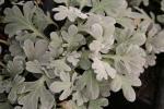Artemisia Silver Brocade