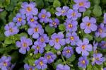 Bacopa Scopia Gulliver Blue