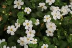 Bacopa Taifun Mega White Improved