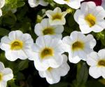 Calibrachoa Celeb. Capri White