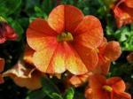 Calibrachoa Celeb. Mandarin