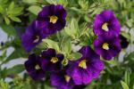 Calibrachoa Celeb. Velvet Blue