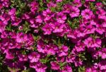 Calibrachoa Celeb. X-treme Pink Imp.