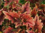Coleus Burning Bush