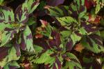 Coleus Finger Paint