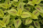 Coleus Gay's Delight