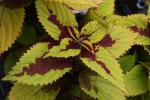 Coleus Pineapple Beauty
