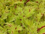 Coleus Pineapplette