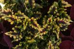 Coleus Solar Flair
