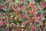 Coleus Tiny Red Toes