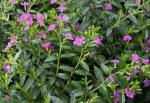 Cuphea hyssopifolia Purple/Allyson