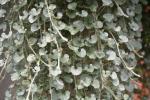 Dichondra Silver Nickel Vine