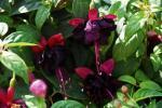 Fuchsia New Millenium