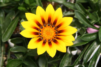 Gazania-New-Magic.jpg