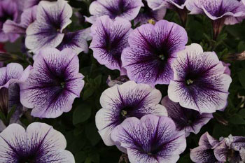 Petunia-Ray-Purple-Vein.jpg